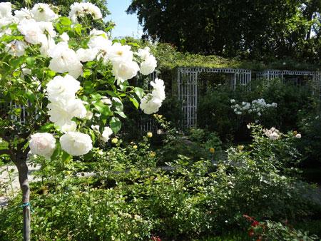 roseraie-du-parc-de-bercy