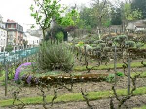2000 pieds de vignes récoltés tous les ans