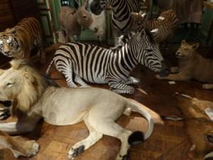 mammifères naturalisés