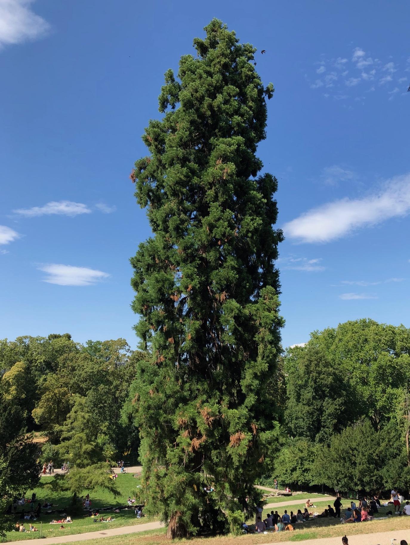 sequoia geant buttes chaumont